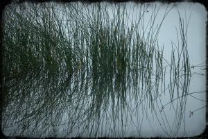 GRASS REFLECTIONS IN THE FOG