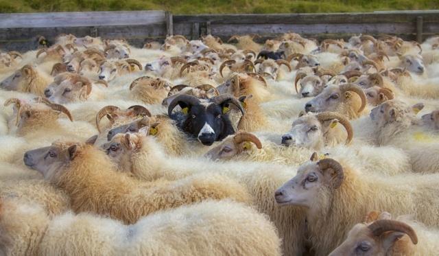Sheep Traffic Jam