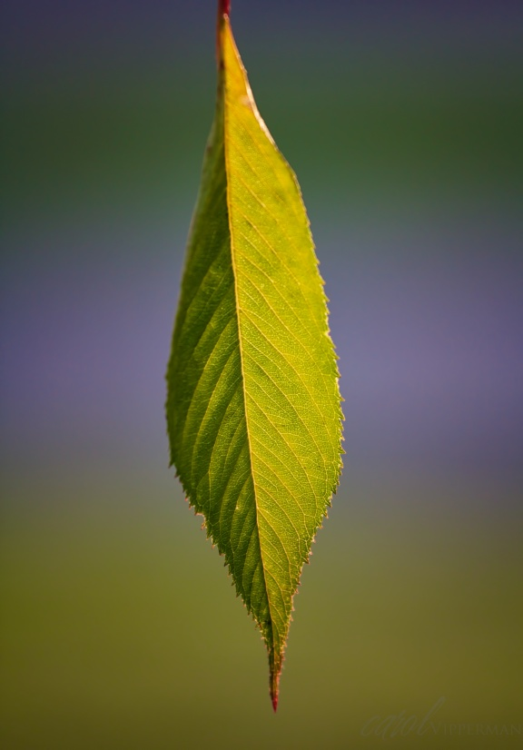 Sun Kissed Leaf