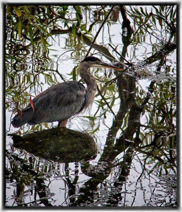 Heron Reflection, Green Lake