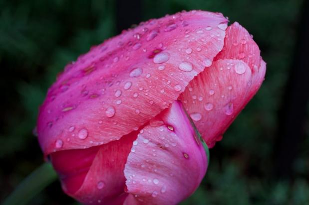 Tulip Beauty Macro ISO 400 f 7.1