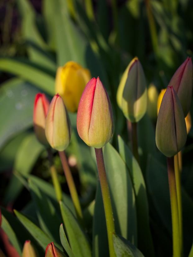 Tulip Patch Macro Lens ISO 200 f2.8