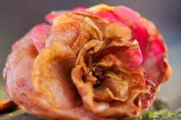 Wilting Blossom