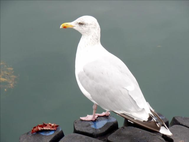 An Elegant Gull