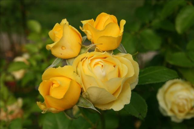 Treasured Roses