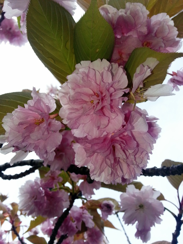 Glorious Cherry Blossoms