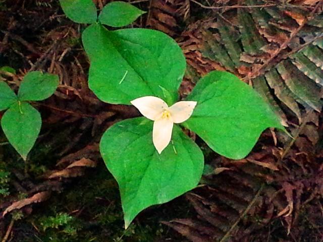 Trillium on the Forest Floor