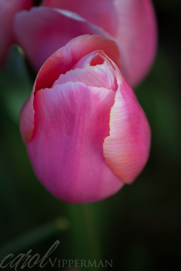 Pink Rose - taken with Canon 70-200 mm lens