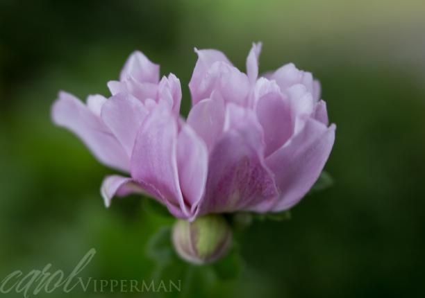 Purple Blush
